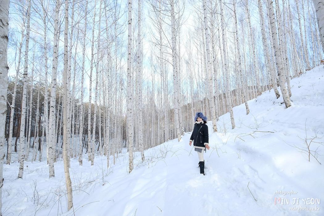 겨울 요정이 사는 강원도 인제 자작나무 숲 (동절기  2월 말 까지)