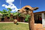 안데스 고산 낙타과 동물