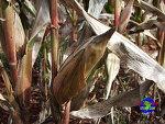 옥수수 - 남미 사람들의 중요한 식량