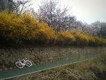 성내천 개나리꽃길