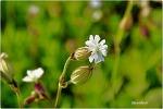 꽃으로 보는 장구채-장고채(杖鼓菜)-Melandryum firmum
