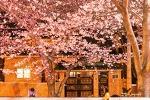 진해 벚꽃축제, 가로등 불빛에 물든 벚꽃, 진해 여좌천의 밤