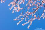 벌써 벚꽃이 폈어? 부산 배화학교에서 만난 2017년 첫 벚꽃!