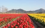 신안 튤립축제, 봄꽃구경 갈만한곳으로 신안 가볼만한곳