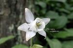 흰매발톱꽃_20120513