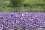 광양 사라실마을, 보라빛 라벤더로 물든 작은 마을