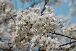 [방문후기] 여의도 벚꽃축제 전에 미리 다녀왔습니다. 너무 너무 아름답네요^^