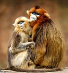 황금원숭이