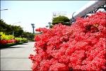 ( 대구 신천하수처리장) 연산군이 좋아한꽃 연산홍 , 영산홍 꽃길