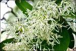 (대구 달성 ) 이팝나무군락지-흰눈이 내린 쌀꽃