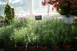 # Rosemary ... in Herbisland (2011. 02. 19)
