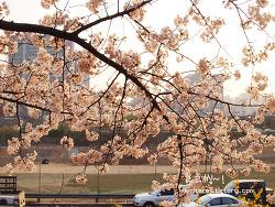 여의도 벚꽃축제 구경하고 갈만한 여의도 맛집은?