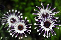 풍차 꽃 - 풍차 디모르포세카