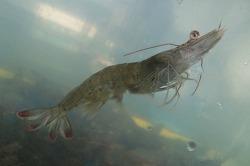 대하로 불리우는 양식산 새우, 어떻게 먹어야 할까?