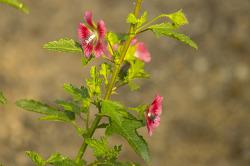 애기부용꽃