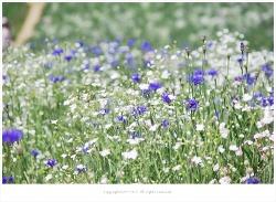 올림픽공원 들꽃마루 수레국화와 안개초가 만들어낸 꽃다발