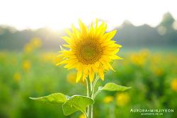 해바리기 & 메밀 꽃 밭을 만날 수 있는 고창 학원 농장, 도깨비 촬영지에 가다!