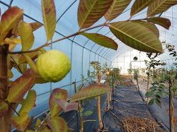 구아바 [농업인신문]에 <아열대작물이 뜬다>의 기사입니다.