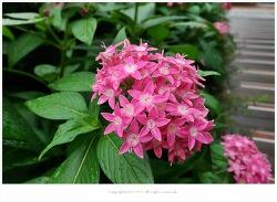 펜타스 란세올라타(Pentas lanceolata) - 이집트의 별꽃