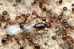 [해충] 붉은불개미(붉은독개미)의 피해와 확산
