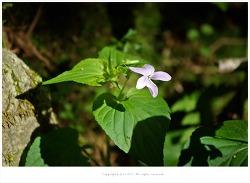졸방제비꽃(졸방나물)과 효능 - 감기.방광염.타박상.종기/약용식물/봄나물/산야초