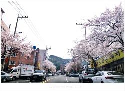 부산 엄광산 아래 가야공원로 벚꽃길에도 벚꽃들이 활짝...