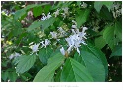 [5월 흰꽃나무] 괴불나무 - 오대산 전나무숲길 야생화