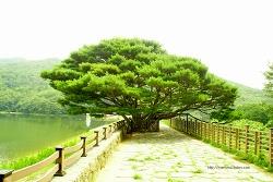 법기수원지의 우아한 반송(盤松)나무