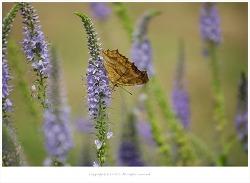 [8월 야생화] 꼬리풀과 네발나비.줄점팔랑나비
