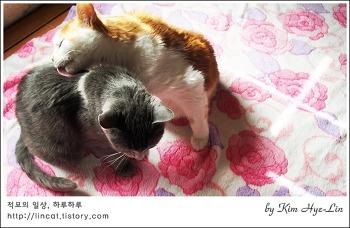 [적묘의 고양이]오빠가 여동생을 할짝할짝 그루밍 해주는 이유