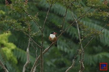 비를 맞는 청호반새(우중 촬영, 2017.7.9)
