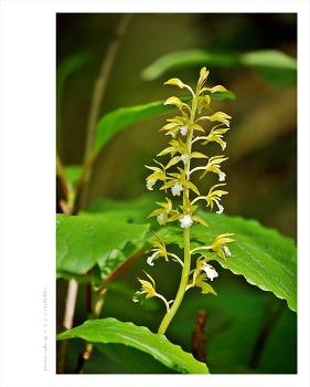 [5월 노란색야생화] 감자난초(감자난) - 오대산 월정사 전나무숲 야생화