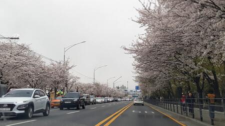 [벚꽃 여행] 봄바람 휘날리며~ 여의도와 신림 도림천