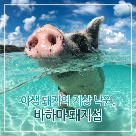 야생 돼지의 지상 낙원, 바하마 돼지섬