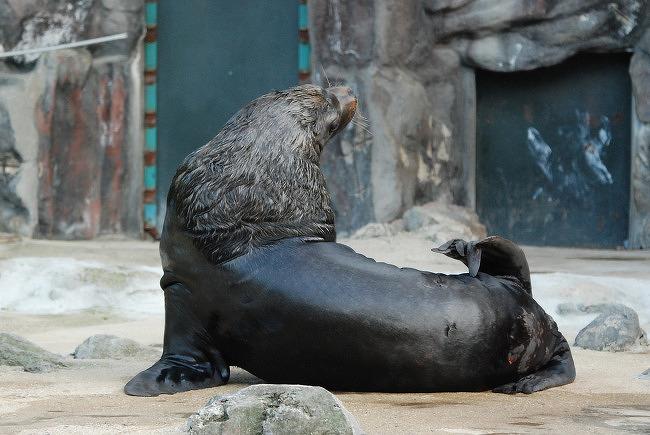 서울대공원 오타리아(남아메리카 바다사자)