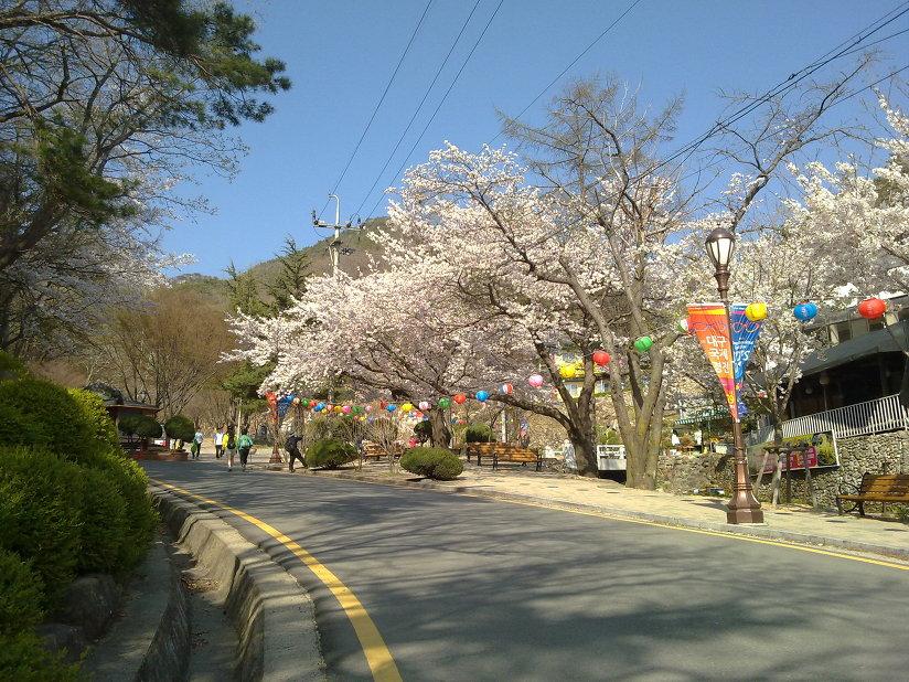 팔공산에는 벚꽃이 활짝 피었다.