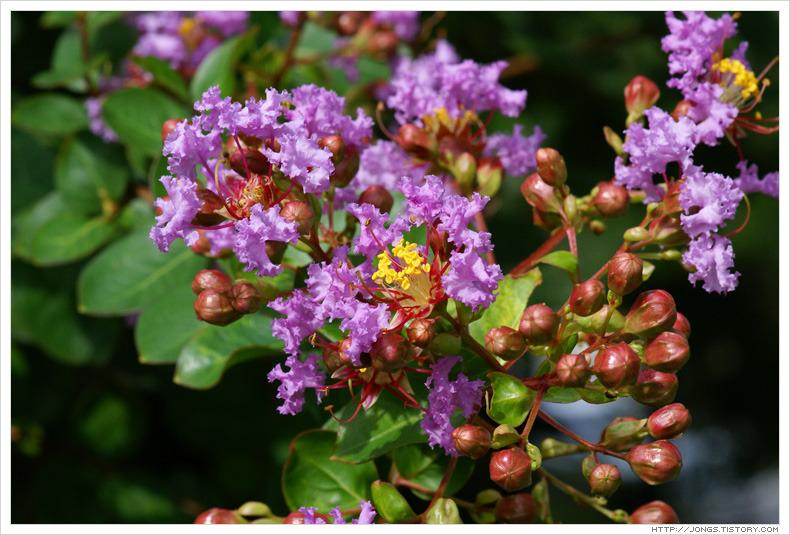 [7월, 보라색] 배롱나무 꽃