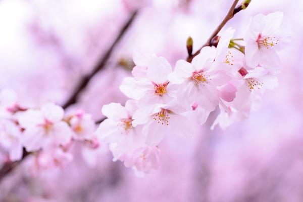 벚꽃축제의 벚나무와 버찌 이야기 - 일본의 국화는 아니었다