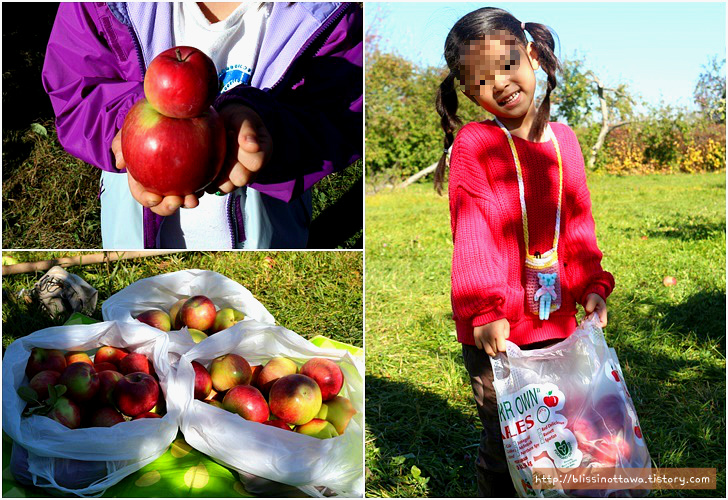 캐나다 사과 호박 농장 애플 픽킹 Orleans Fruits Farm