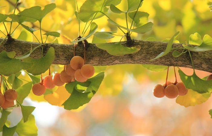 사진: 잇몸병에 좋은 것으로 알려진 징코빌로바는 은행나무의 추출물로 만들어 진다. 항균 작용을 하기 때문에 치약의 성분으로 좋다. [잇몸질환에 알아둘 치약 성분]