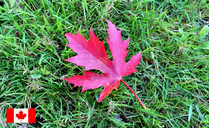 캐나다 빨간 단풍잎