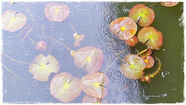 비오는 삼락공원(三樂公園)연지