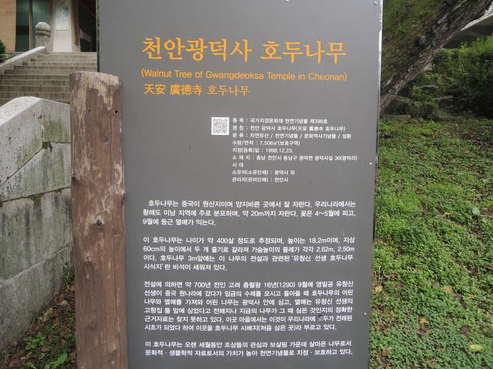 천안 볼거리 갈만한곳 광덕사 호두나무