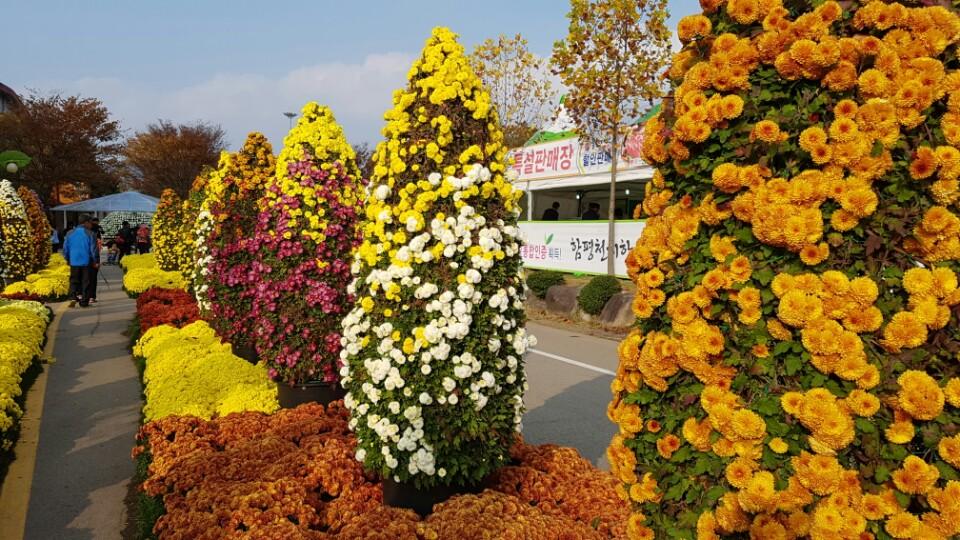 국화 꽃축제