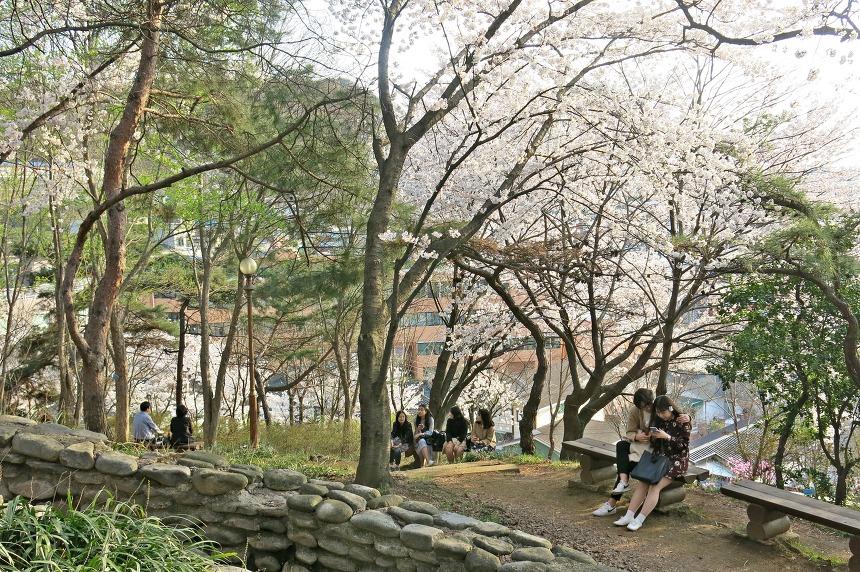 대전벚꽃명소 테미공원 벚꽃 황홀경