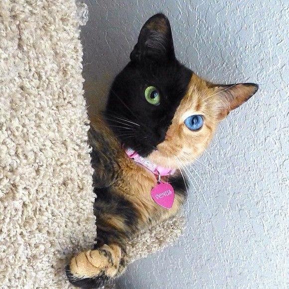 두 색깔의 얼굴 고양이