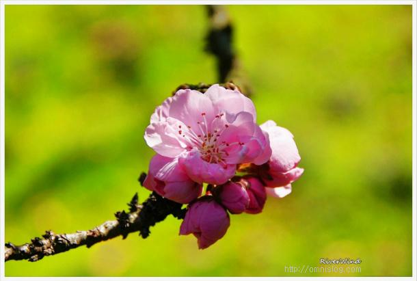 황도,노란복숭아꽃,Yellow peach blossom,黄色の桃の花,黄桃花.