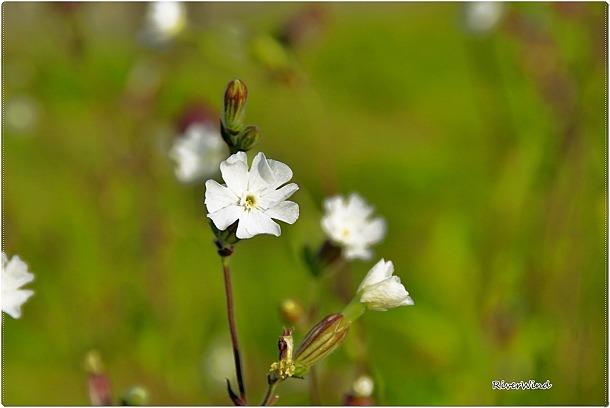 장구채-장고채(杖鼓菜)-Melandryum firmum