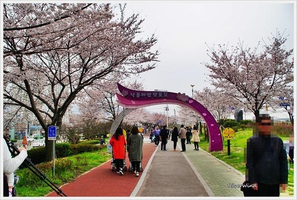 낙동제방 벚꽃길