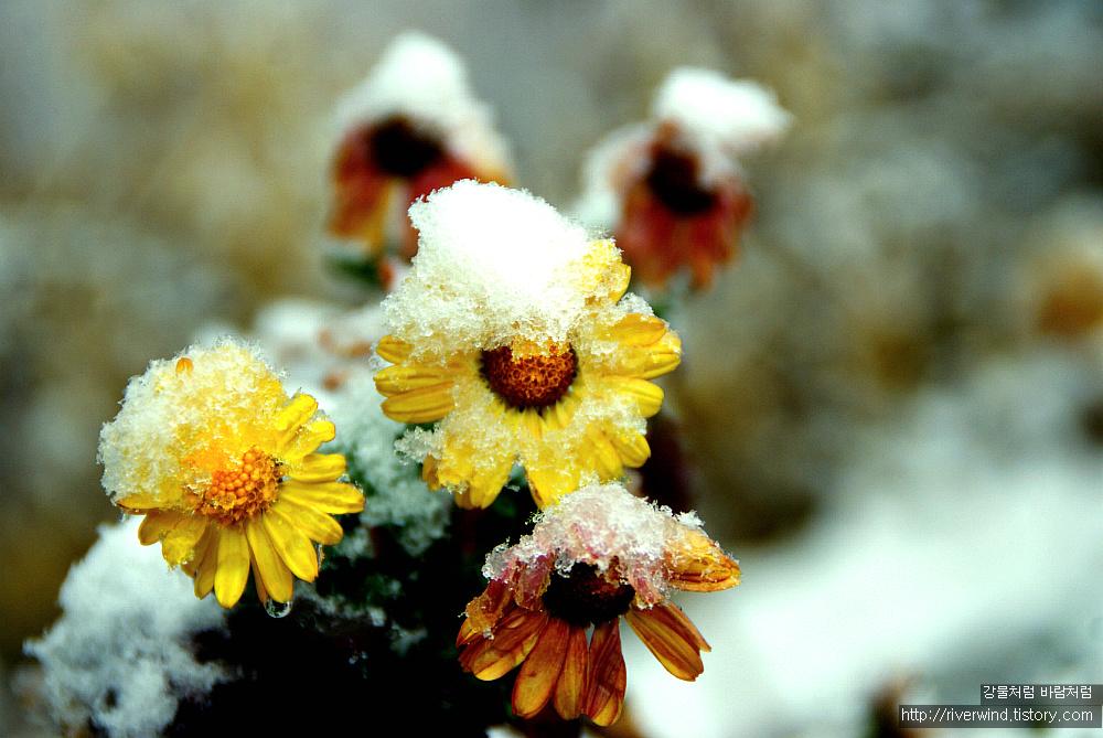 눈속에 핀 국화  snow Chrysanthemum